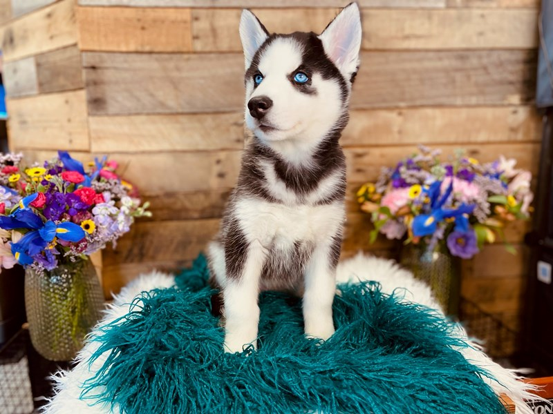 Siberian Husky-Female-Black / White-3020885-The Barking Boutique