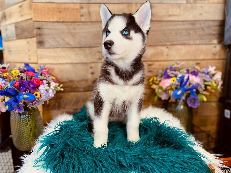 Siberian Husky-Female-Black / White-3020885-The Barking Boutique