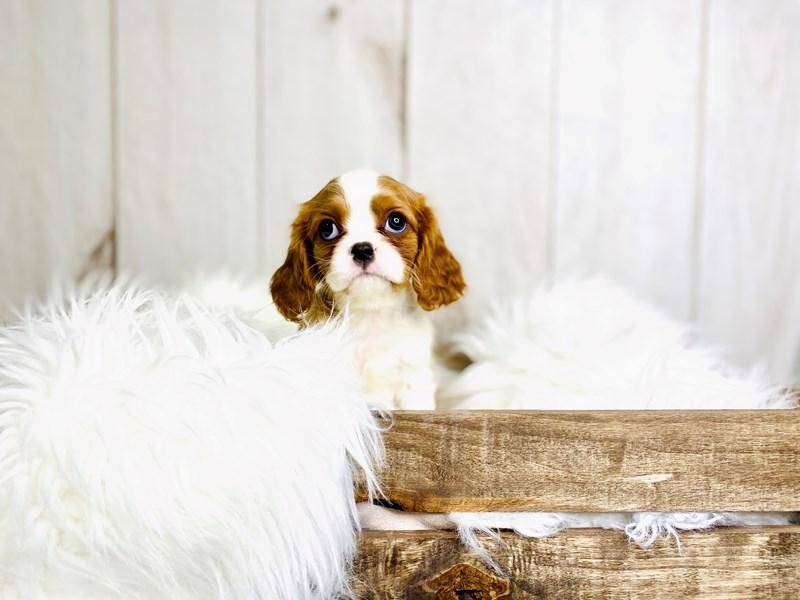 Cavalier King Charles Spaniel-Female-Blenheim-3020905-The Barking Boutique