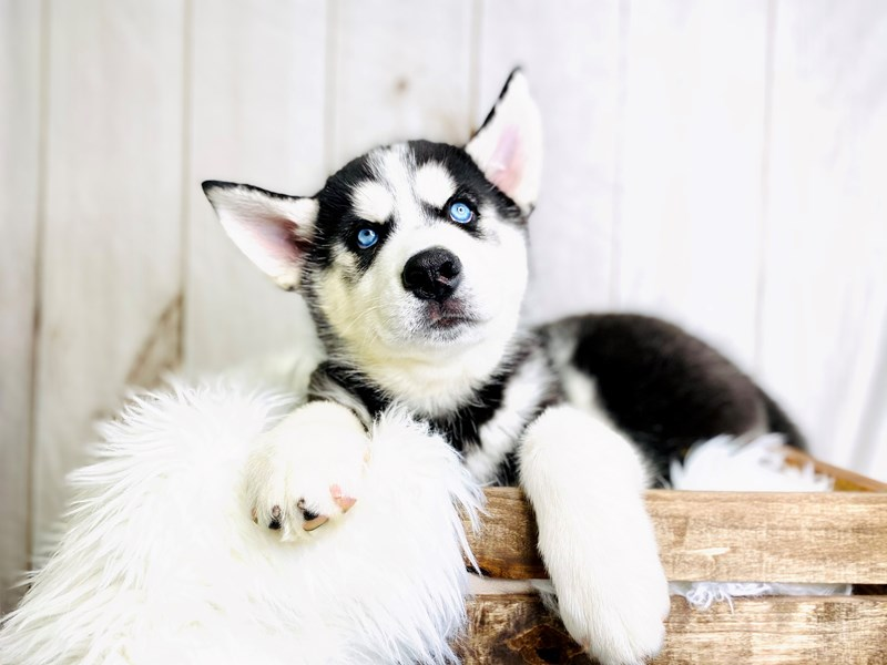 Siberian Husky-Male-Black / White-3020886-The Barking Boutique
