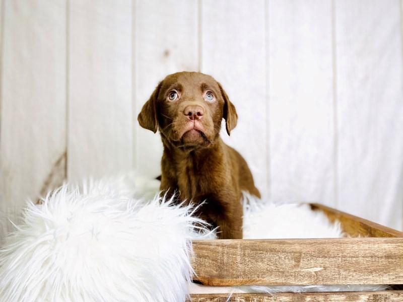 Labrador Retriever-Female-Chocolate-3020887-The Barking Boutique