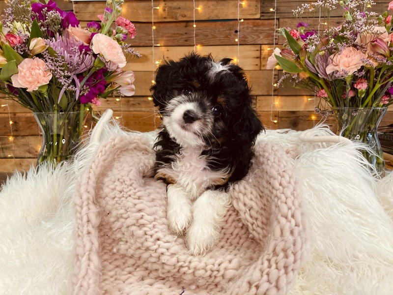 2nd Generation Mini Bernedoodle – ChiChi