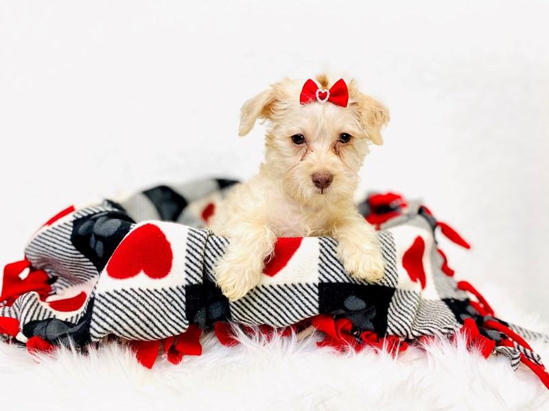 Schnoodle-Female-Tan-2994016-The Barking Boutique
