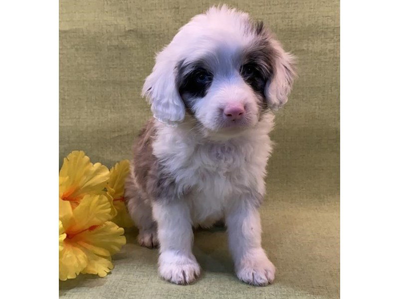 Australian Shepherd/Poodle-Female-Blue Merle-3011419-The Barking Boutique