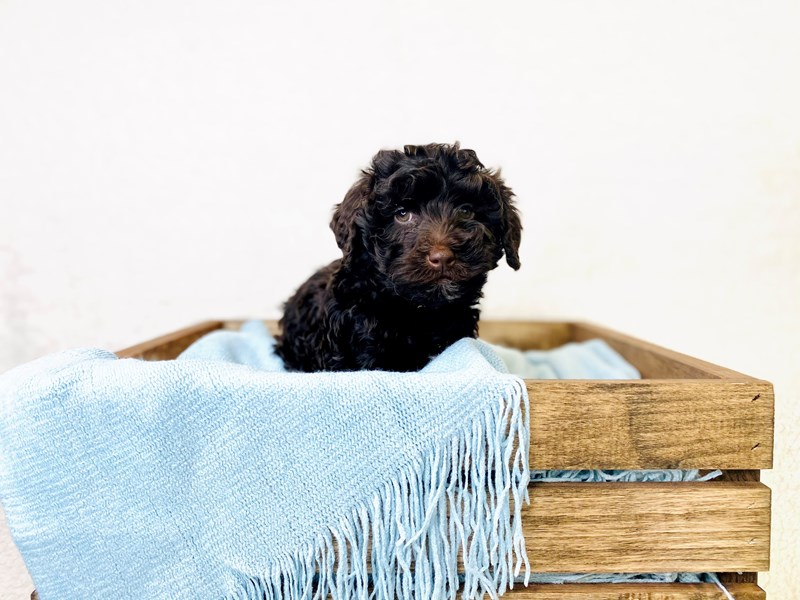 Miniature Schnauzer/Poodle-Male-Chocolate-3011413-The Barking Boutique
