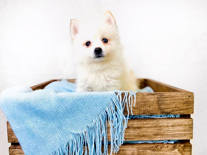 Pomsky 2nd Gen-Male-Cream-3011353-The Barking Boutique