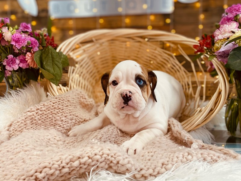 Victorian Bulldoge-Female-White / Chocolate Merle-3011435-The Barking Boutique