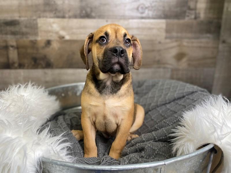PugaBull-Male--3018425-The Barking Boutique