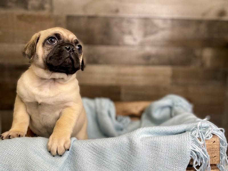 Pug/Bull Mastiff – Crunchy Munchie