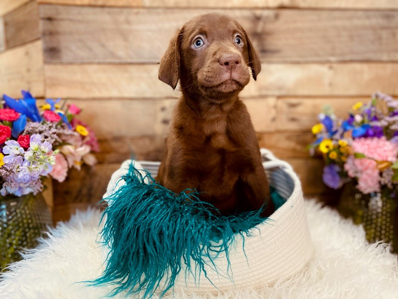 Labrador Retriever-Male-Chocolate-3020889-The Barking Boutique