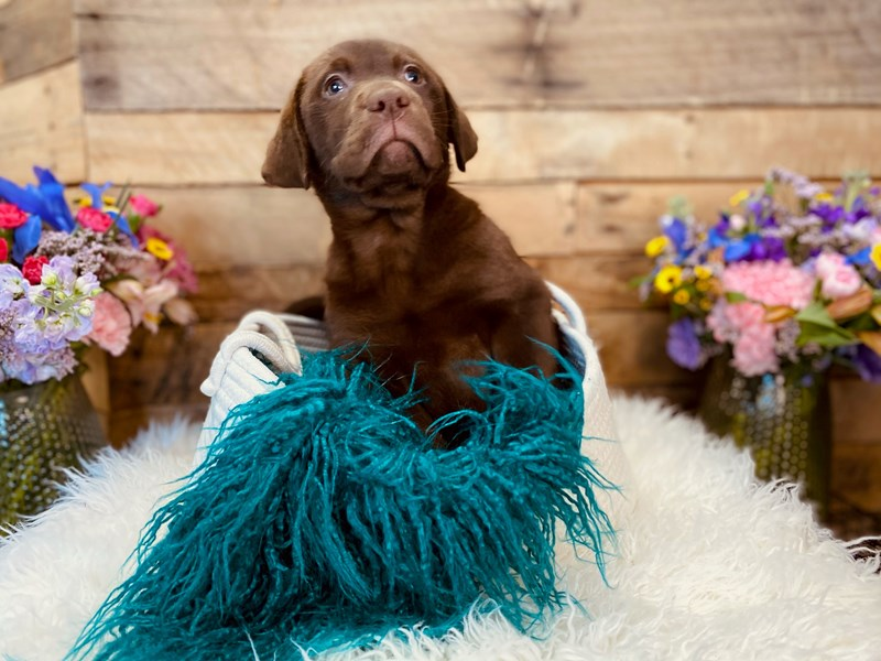 Labrador Retriever-Female-Chocolate-3020888-The Barking Boutique