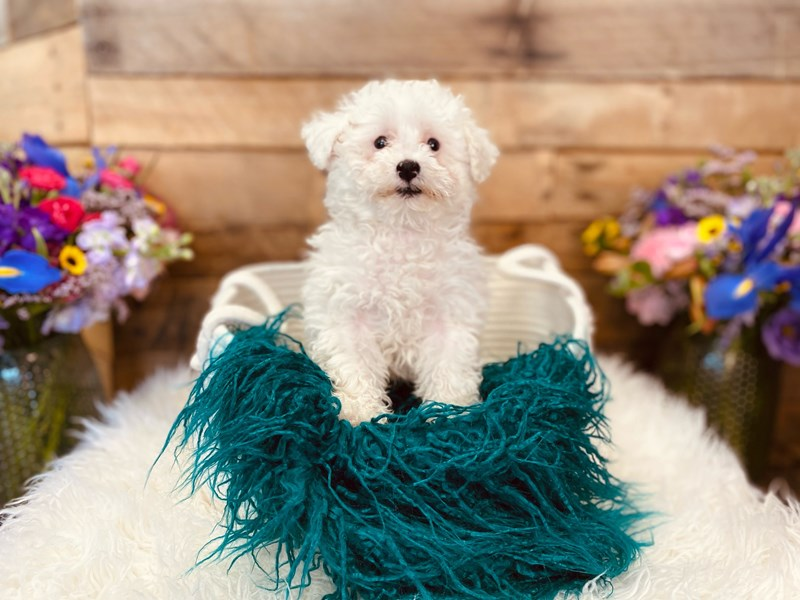Poodle-Female-White-3021018-The Barking Boutique