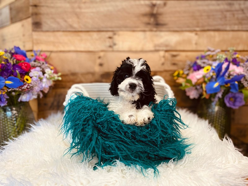 Cock A Poo 2nd Gen-Male-Black / White-3020904-The Barking Boutique