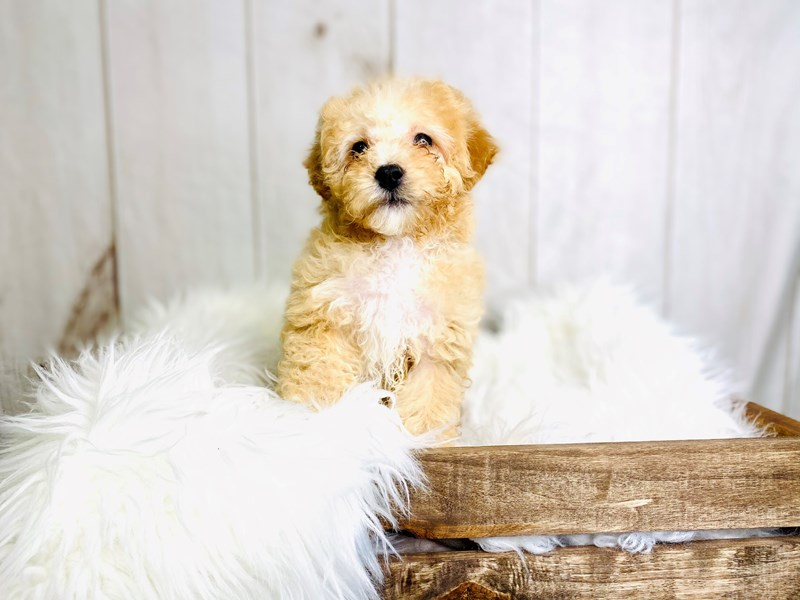 Poochon-Female-Brown / White-3020899-The Barking Boutique