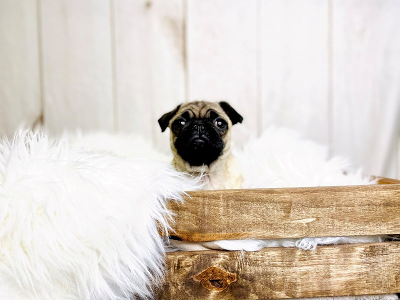 Pug-Female-Fawn-3020894-The Barking Boutique