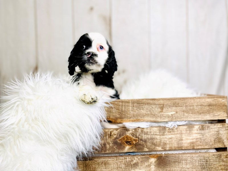 Cocker Spaniel-Female-Black / White-3020890-The Barking Boutique
