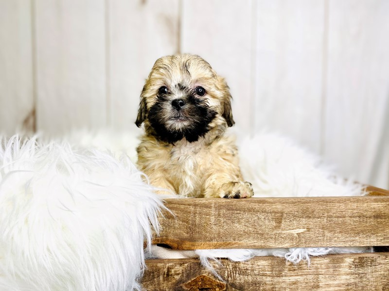 Teddy Bear-Female-Brown / White-3020901-The Barking Boutique