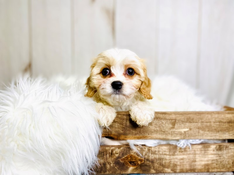 Cavachon-Female-Cream / White-3021119-The Barking Boutique