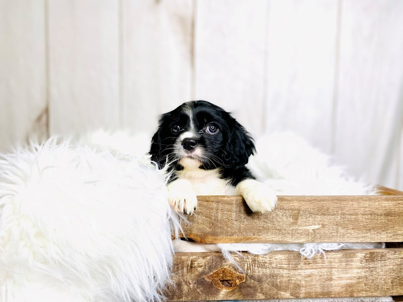 Cavalier King Charles Spaniel-Male-Black / White-3020906-The Barking Boutique