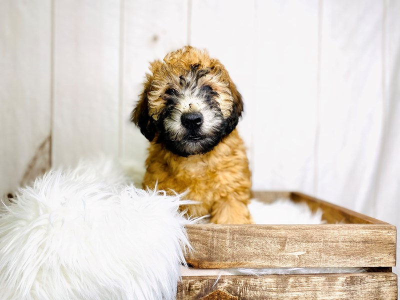 Soft Coated Wheaten Terrier-Male-Wheaten-3021123-The Barking Boutique