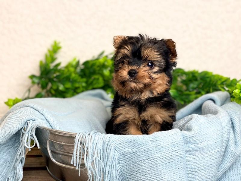 Yorkshire Terrier – Toby