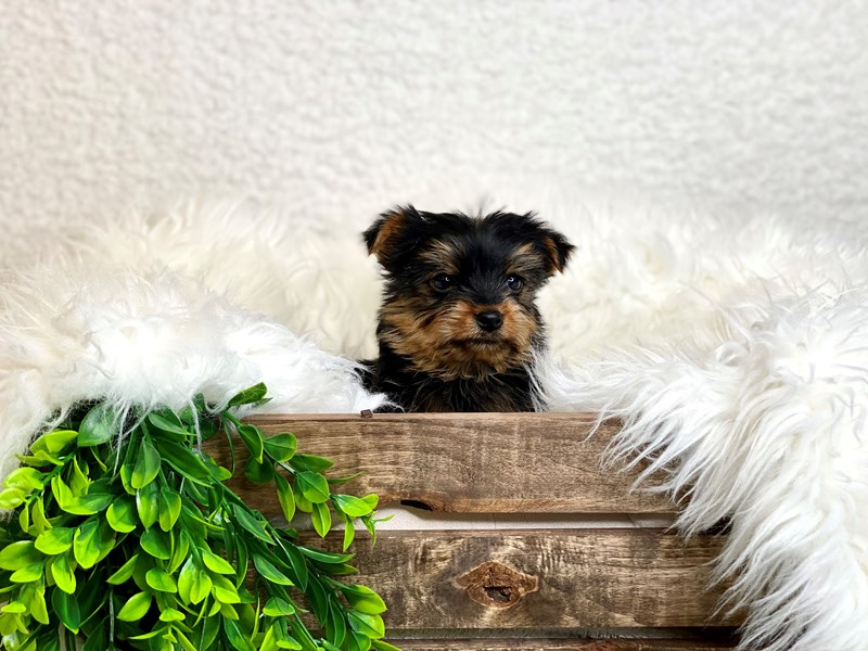 Yorkshire Terrier-Female--3027941-The Barking Boutique