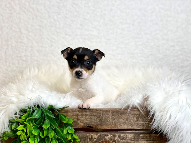 Rat Terrier-Female--3028431-The Barking Boutique
