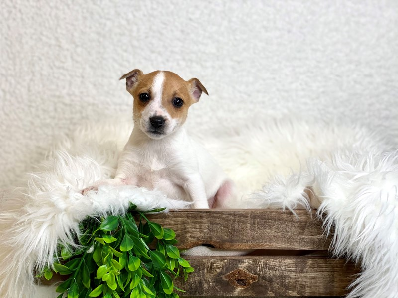 Rat Terrier-Male--3028420-The Barking Boutique