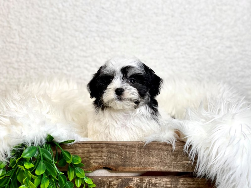 Havamalt-Female-Black & White-3027719-The Barking Boutique