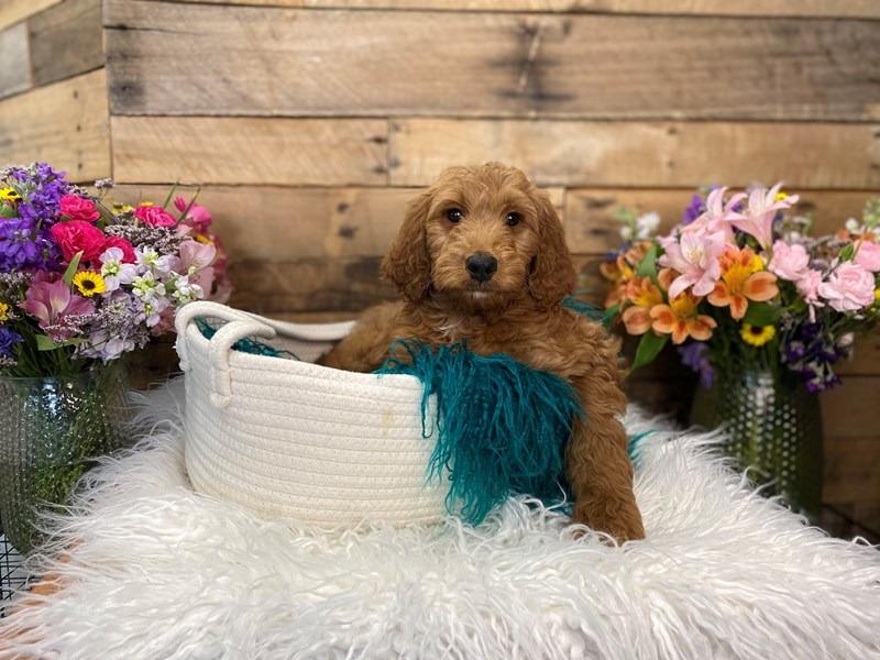 F1B Goldendoodle-Male--3027754-The Barking Boutique