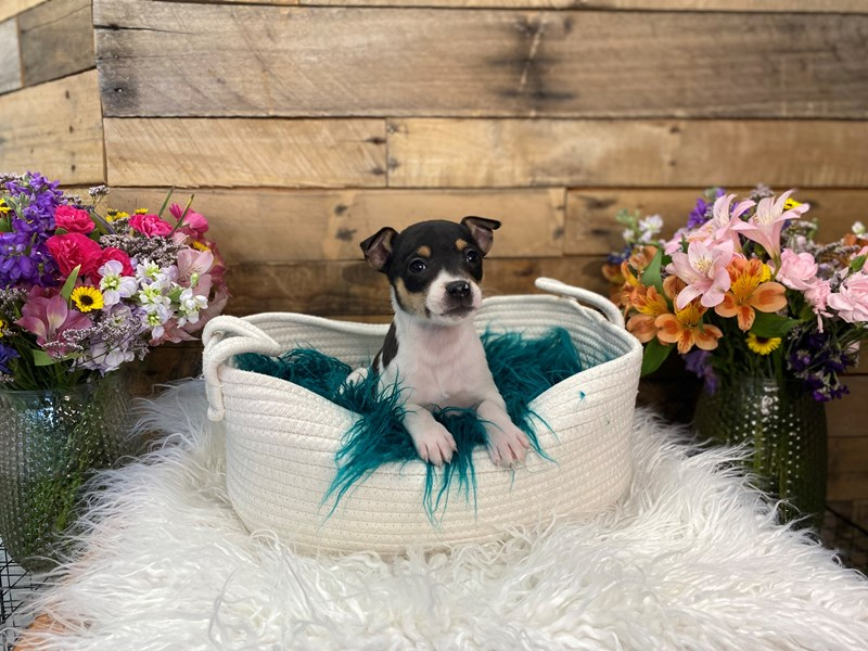 Rat Terrier-Female-Black and White-3028438-The Barking Boutique