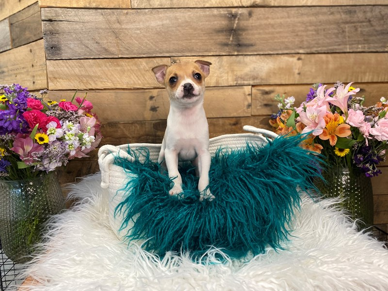 Rat Terrier-Female-Red and White-3028434-The Barking Boutique