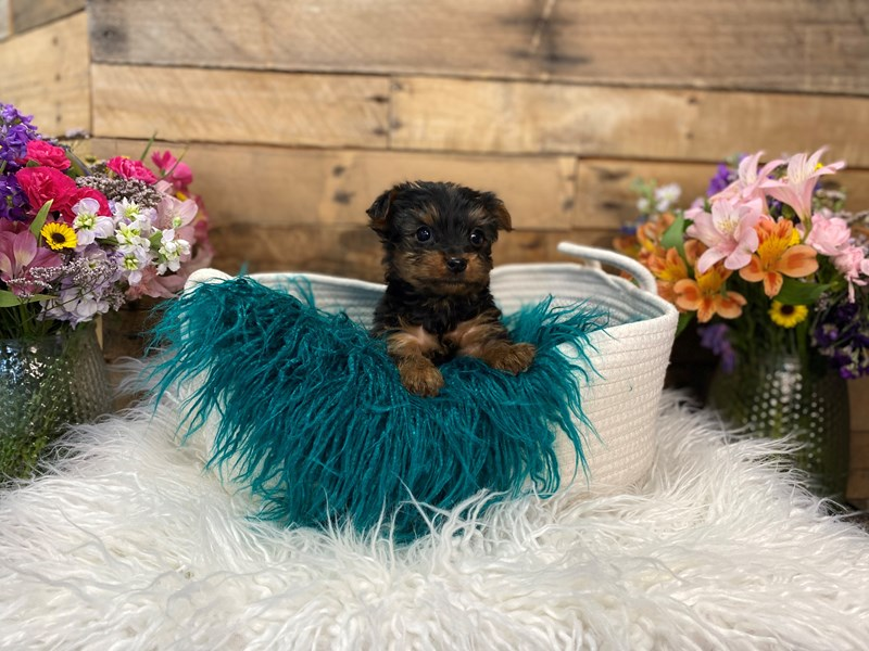 Yorkshire Terrier-Male--3027920-The Barking Boutique
