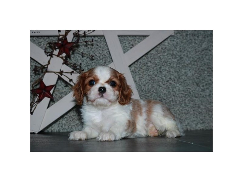 Cavalier King Charles Spaniel-Female-Blenheim-3031448-The Barking Boutique