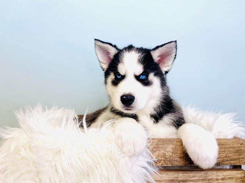 Siberian Husky – Carhartt