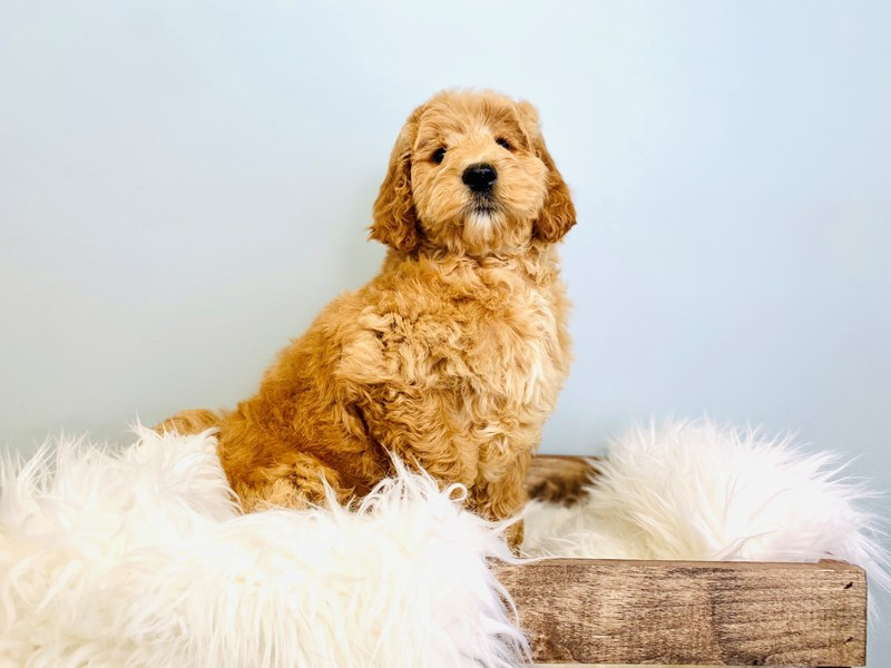 Goldendoodle 2nd Gen-Female-Cream-3031429-The Barking Boutique