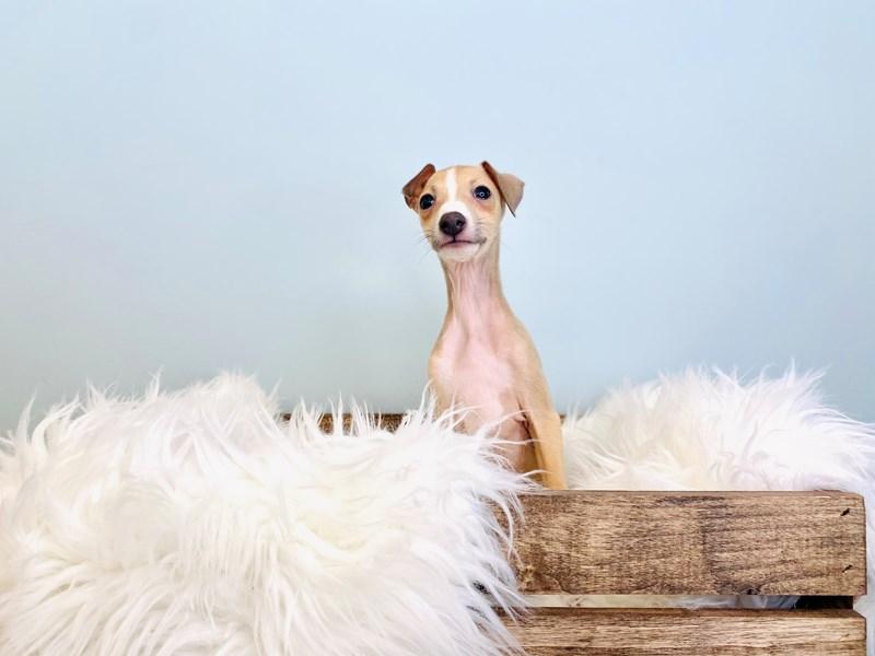 Italian Greyhound – Marshall