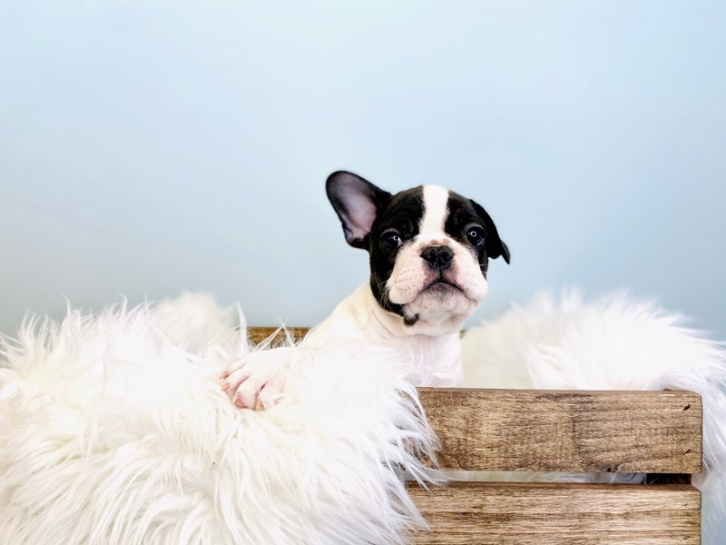 French Bulldog-Male-White-3031445-The Barking Boutique