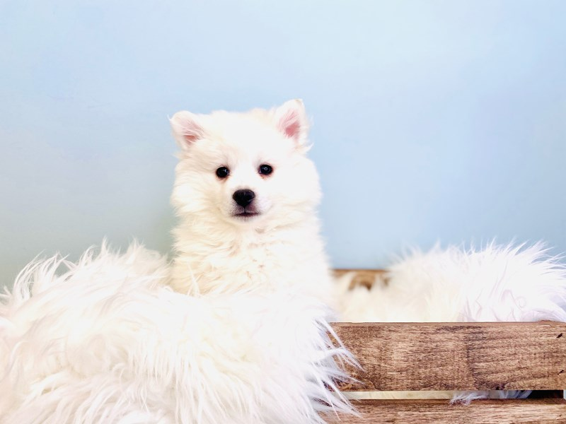 American Eskimo Dog-Male-White-3031452-The Barking Boutique