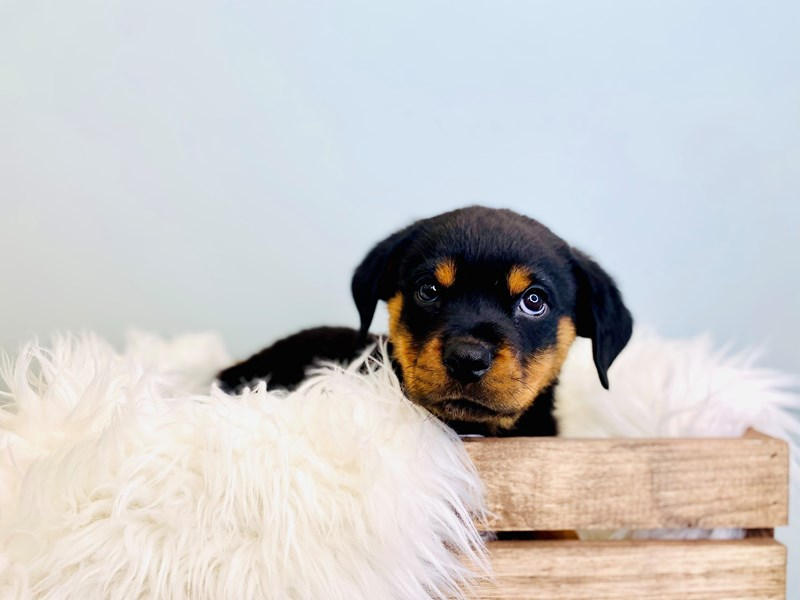 Rottweiler-Female-Black / Tan-3031456-The Barking Boutique