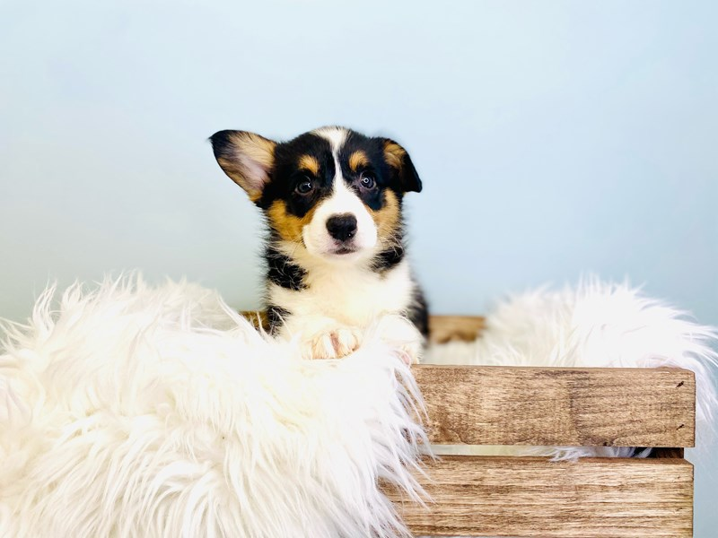 Cardigan Welsh Corgi-Female-Black Brown / White-3031480-The Barking Boutique