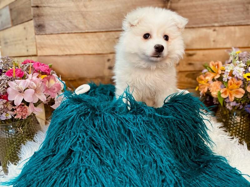 American Eskimo Dog – Sunny