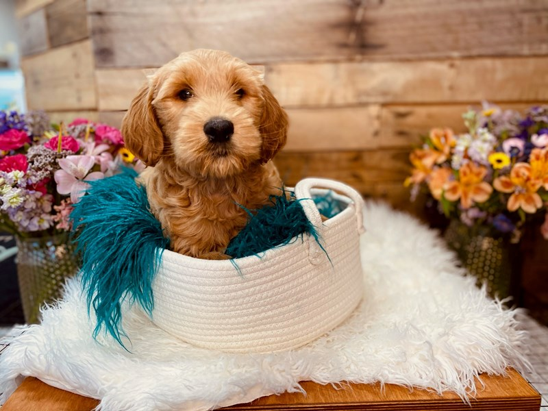 Goldendoodle 2nd Gen – Balto