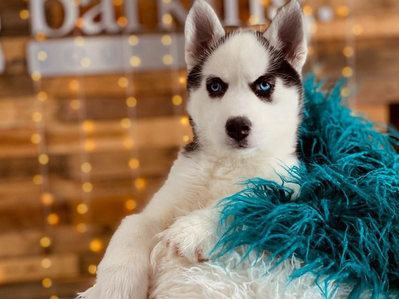 Siberian Husky – Bo