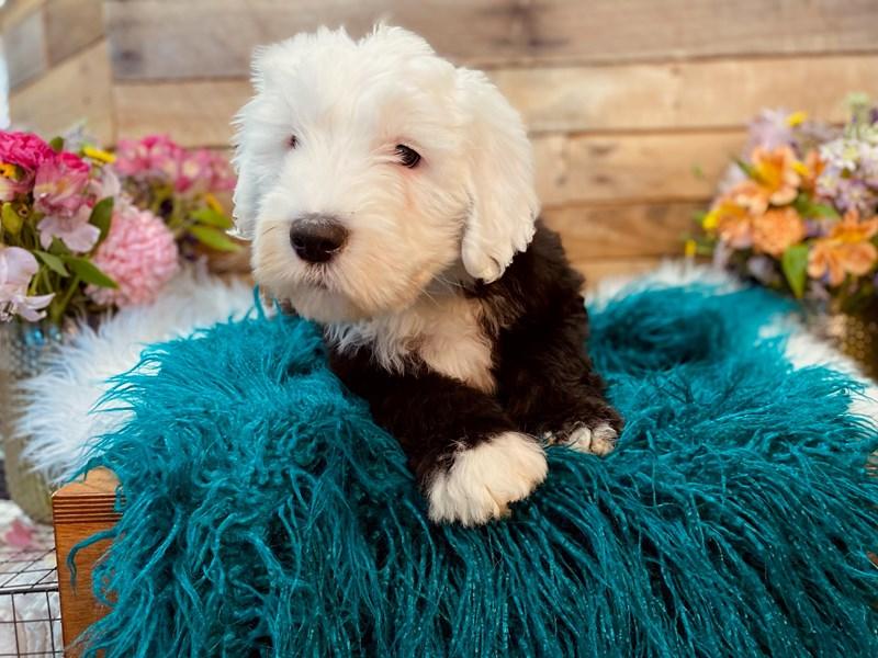 Old English Sheepdog/Poodle-Female-Black / White-3031450-The Barking Boutique