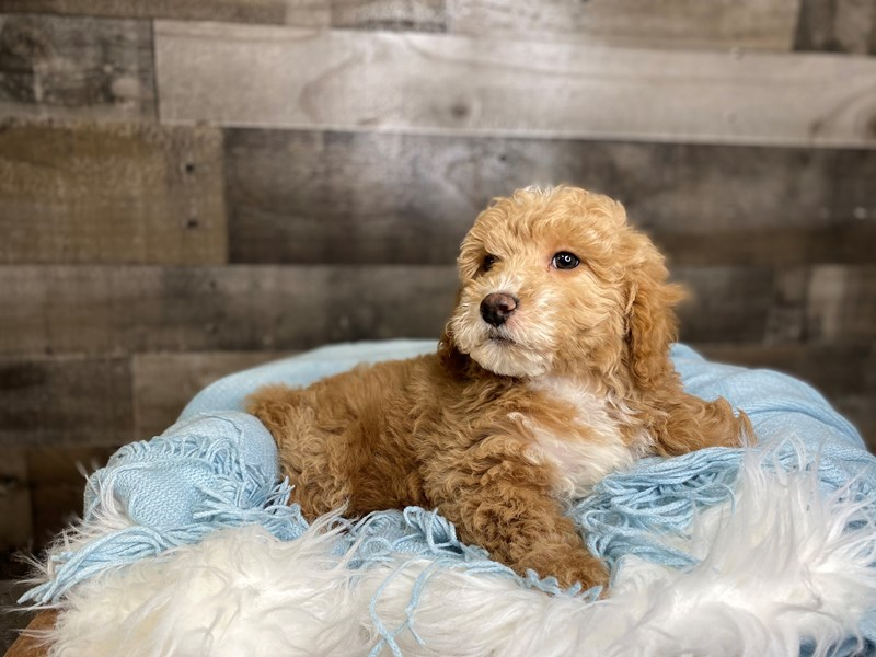 Goldendoodle Mini 2nd Gen-Male-Apricot-3031437-The Barking Boutique