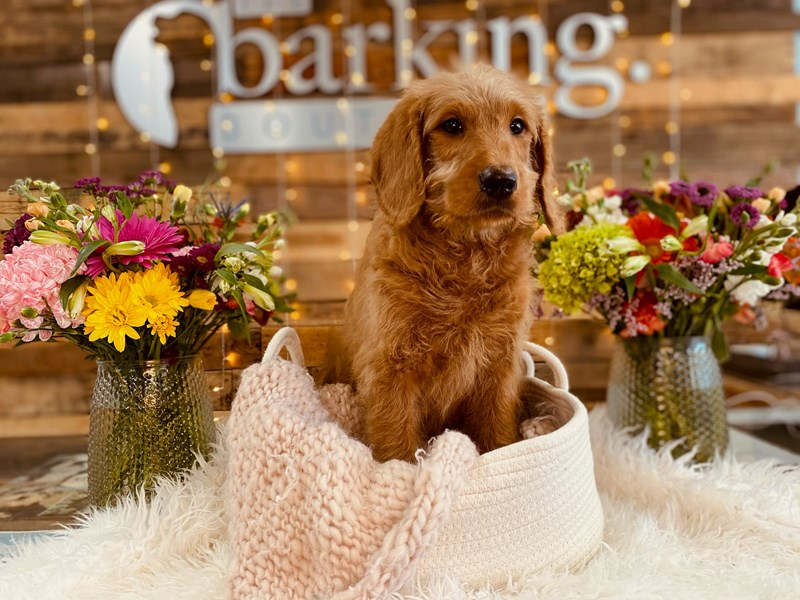 Labradoodle F1-B-Male-Light Red-3037947-The Barking Boutique