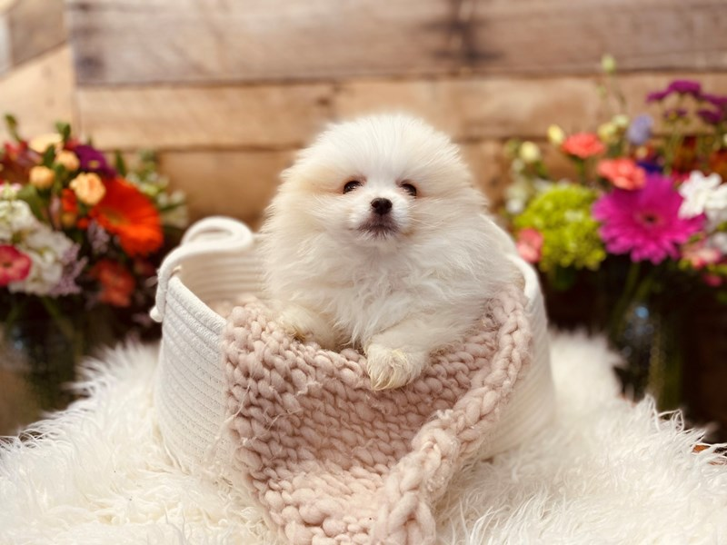 Pomeranian-Female-Cream-3040969-The Barking Boutique