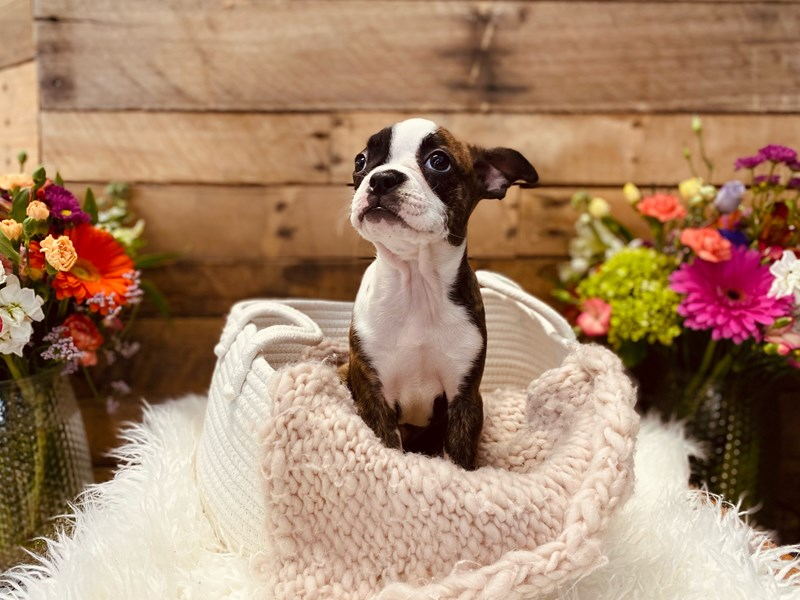 Boston Terrier-Female-Brindle / White-3040903-The Barking Boutique