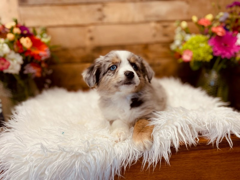 Australian Shepherd-Male-Blue Merle-3040917-The Barking Boutique
